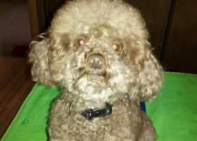 寻狗启示,寻4岁浅棕色泰迪弟弟,它是一只非常可爱的宠物狗狗,希望它早日回家,不要变成流浪狗。