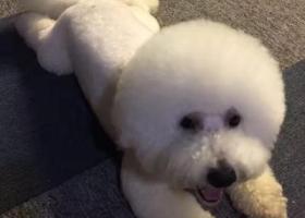2017年7月27日中午不慎丢失一只雄性比熊狗,白色 ,无泪痕,有牙结石!