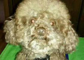 寻狗启示,寻浅棕色泰迪弟弟一只,它是一只非常可爱的宠物狗狗,希望它早日回家,不要变成流浪狗。