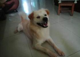 寻狗启示,惠州寻找一只白黄毛狗狗,蛋蛋有一点白一点白的 还有舌头有些黑斑,它是一只非常可爱的宠物狗狗,希望它早日回家,不要变成流浪狗。