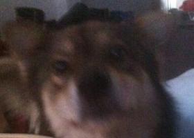 寻狗启示,浙江省温州乐清市硐桥村狗狗走丢了,酬金300元,它是一只非常可爱的宠物狗狗,希望它早日回家,不要变成流浪狗。