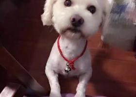 寻狗启示,南通找狗!江苏南通虹桥南村附近丢失一只白色泰迪串!,它是一只非常可爱的宠物狗狗,希望它早日回家,不要变成流浪狗。