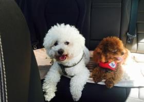 寻狗启示,求助,4岁半白色比熊被偷,5000元寻狗,它是一只非常可爱的宠物狗狗,希望它早日回家,不要变成流浪狗。