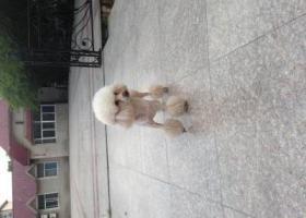 寻狗启示,求大家帮我寻找我家贵宾小米,它是一只非常可爱的宠物狗狗,希望它早日回家,不要变成流浪狗。
