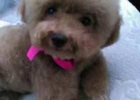 寻狗启示,爱犬丢失,棕色母泰迪,它是一只非常可爱的宠物狗狗,希望它早日回家,不要变成流浪狗。