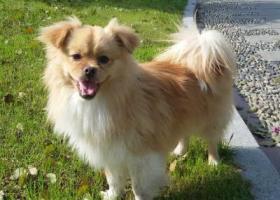 寻狗启示,紧急寻狗启示,名叫小黄,它是一只非常可爱的宠物狗狗,希望它早日回家,不要变成流浪狗。