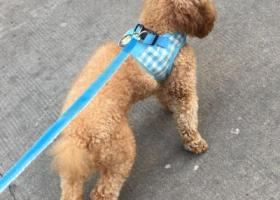 寻狗启示,上海路与石塔湖公园附近走失一只中型泰迪狗,它是一只非常可爱的宠物狗狗,希望它早日回家,不要变成流浪狗。