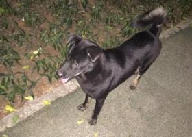 大黑狗狗小盆友 在石厦北五街新洲路边的花园流浪