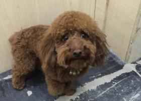 寻狗启示,寻找狗狗石头棕色泰迪,它是一只非常可爱的宠物狗狗,希望它早日回家,不要变成流浪狗。