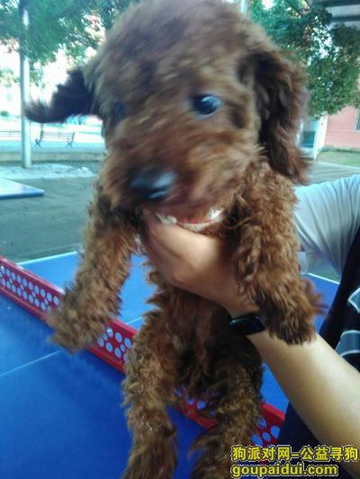 岳阳找狗,一岁大深棕色未绝育的公泰迪Toby,他6斤,它是一只非常可爱的宠物狗狗,希望它早日回家,不要变成流浪狗。