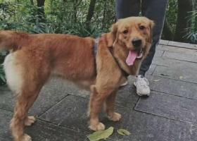 寻狗启示,寻狗启示 寻找哈皮金毛犬,它是一只非常可爱的宠物狗狗,希望它早日回家,不要变成流浪狗。