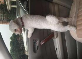 寻狗启示,寻狗启示扬州江都区润家国际市场,它是一只非常可爱的宠物狗狗,希望它早日回家,不要变成流浪狗。