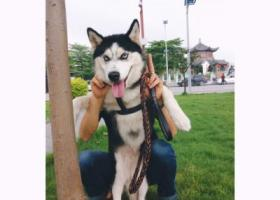 寻狗启示,8月10日下午16点30分走失哈士奇,它是一只非常可爱的宠物狗狗,希望它早日回家,不要变成流浪狗。