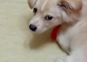寻狗启示,通州捡到一只浅黄色狗狗,它是一只非常可爱的宠物狗狗,希望它早日回家,不要变成流浪狗。