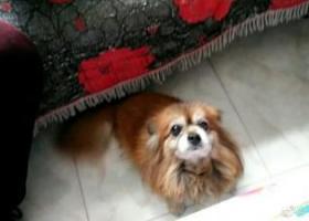 寻狗启示,蝴蝶犬初五在让胡路远望小区走失 如有看到,捡到请联系我18246933352,它是一只非常可爱的宠物狗狗,希望它早日回家,不要变成流浪狗。