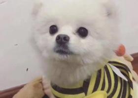 #寻狗启示# 狗名字:肉丸子❤️ 博美犬白色;  年龄一岁,小体型犬,