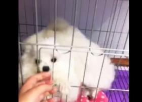 寻狗启示,宿州市埇桥区8.14号寻找白色难产贵宾犬,它是一只非常可爱的宠物狗狗,希望它早日回家,不要变成流浪狗。