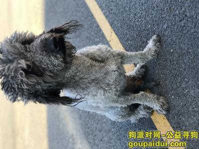 四平寻狗,灰色泰迪狗丢失,寻狗,它是一只非常可爱的宠物狗狗,希望它早日回家,不要变成流浪狗。