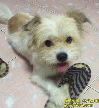 【淮南找狗】,淮南凤台金盛浴池附近寻找白黄毛色小狗,它是一只非常可爱的宠物狗狗,希望它早日回家,不要变成流浪狗。