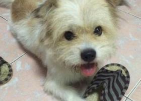 寻狗启示,淮南凤台金盛浴池附近寻找白黄毛色小狗,它是一只非常可爱的宠物狗狗,希望它早日回家,不要变成流浪狗。