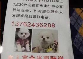 #寻狗启示# 狗名字:肉丸子❤️ 博美犬白色 ; 年龄一岁,小体型犬,