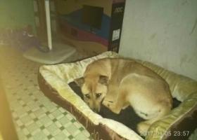 寻狗启示,自家养的 田园犬 因为跟尾出门 而不见 遇见重酬,它是一只非常可爱的宠物狗狗,希望它早日回家,不要变成流浪狗。