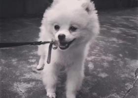 名字:肉丸子❤️ 博美犬白色 ; 年龄一岁,小体型犬