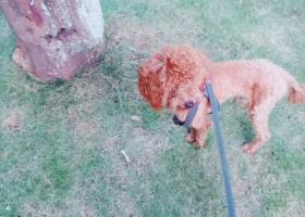 寻狗启示,嵊州市东圃丢失泰迪犬,它是一只非常可爱的宠物狗狗,希望它早日回家,不要变成流浪狗。