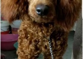 寻狗启示,捡到的泰迪!!!!!!!!!!!!!!,它是一只非常可爱的宠物狗狗,希望它早日回家,不要变成流浪狗。