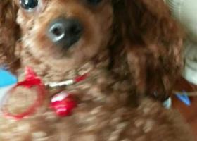 寻狗启示,我的爱宠小泰迪走失,已经两周岁了,希望大家帮忙找下,它是一只非常可爱的宠物狗狗,希望它早日回家,不要变成流浪狗。