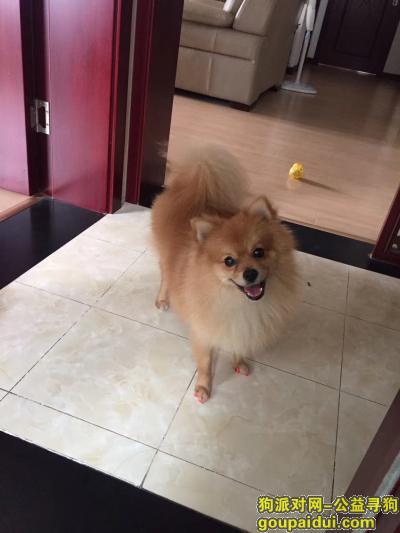 巢湖找狗,急找一只黄色博美捡到者或者还回来的都有重谢,它是一只非常可爱的宠物狗狗,希望它早日回家,不要变成流浪狗。