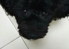 寻狗启示,寻找黑色小泰迪,感谢好心人,它是一只非常可爱的宠物狗狗,希望它早日回家,不要变成流浪狗。