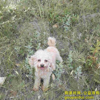 张北找狗,2017年8月20日泰迪狗丢失在张北草原天路大囫囵镇小台沟村天路金三角,它是一只非常可爱的宠物狗狗,希望它早日回家,不要变成流浪狗。