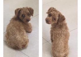 寻狗启示,寻找一只小型泰迪,三岁大,它是一只非常可爱的宠物狗狗,希望它早日回家,不要变成流浪狗。