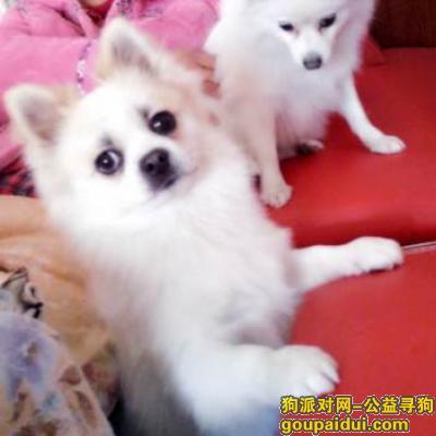 郴州寻狗网,湖南郴州寻找6岁博美京巴串串 名叫兔兔 白色公狗,它是一只非常可爱的宠物狗狗,希望它早日回家,不要变成流浪狗。
