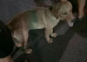 寻狗启示,寻找一只走丢的拉布拉多,它是一只非常可爱的宠物狗狗,希望它早日回家,不要变成流浪狗。