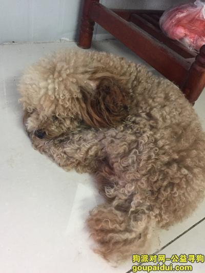 巢湖寻狗主人,捡到一只泰迪 看着比较大  牡丹路巢湖闸,它是一只非常可爱的宠物狗狗,希望它早日回家,不要变成流浪狗。