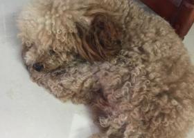 寻狗启示,捡到一只泰迪 看着比较大  牡丹路巢湖闸,它是一只非常可爱的宠物狗狗,希望它早日回家,不要变成流浪狗。