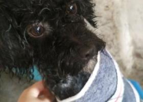 寻狗启示,寻找一只母的黑色泰迪狗,它是一只非常可爱的宠物狗狗,希望它早日回家,不要变成流浪狗。