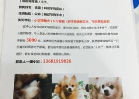 上海黄浦区8/26丢失一条博美犬