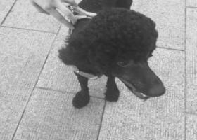 寻狗启示,已被领养 此贴作废,它是一只非常可爱的宠物狗狗,希望它早日回家,不要变成流浪狗。