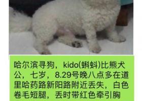 哈尔滨寻狗白色比熊犬,公狗