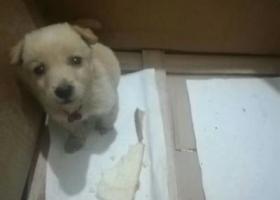 泊头市寻找大约两个月的黄色小母狗