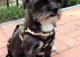寻狗启示,一只小黑狗丢了,急寻!,它是一只非常可爱的宠物狗狗,希望它早日回家,不要变成流浪狗。
