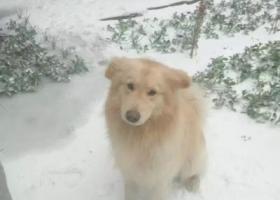 寻狗启示,寻狗,偏黄色金毛与萨摩耶混血儿,,它是一只非常可爱的宠物狗狗,希望它早日回家,不要变成流浪狗。