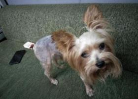 寻狗启示,东坝 康静里 常青藤附近 公狗,它是一只非常可爱的宠物狗狗,希望它早日回家,不要变成流浪狗。