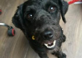 寻狗启示,17年8月31重庆捡到黑色泰迪,它是一只非常可爱的宠物狗狗,希望它早日回家,不要变成流浪狗。