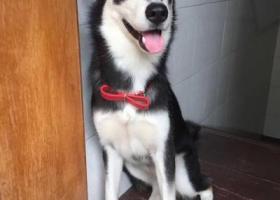 寻狗启示,巡狗,它是一只非常可爱的宠物狗狗,希望它早日回家,不要变成流浪狗。