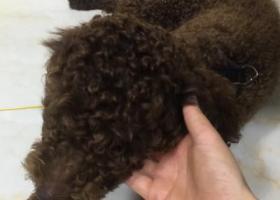 寻狗启示,8月29日下午在三里街铭座大厦捡到咖啡色泰迪一只,它是一只非常可爱的宠物狗狗,希望它早日回家,不要变成流浪狗。