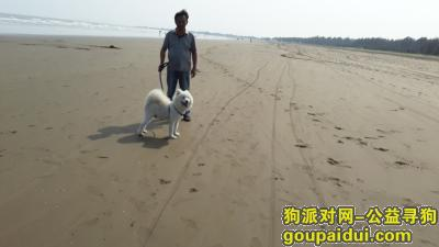 肇庆找狗,永不放弃,寻找爱犬萨摩耶,它是一只非常可爱的宠物狗狗,希望它早日回家,不要变成流浪狗。